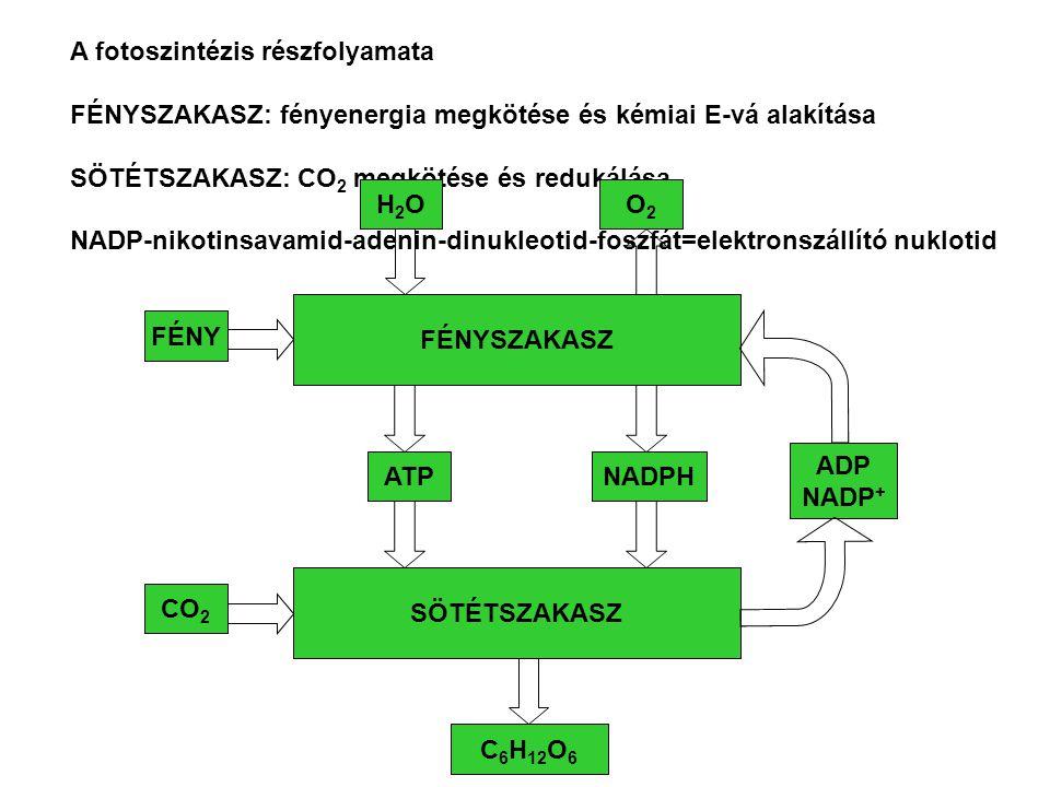 A fotoszintézis részfolyamata FÉNYSZAKASZ: fényenergia megkötése és kémiai E-vá alakítása SÖTÉTSZAKASZ: CO 2 megkötése és redukálása NADP-nikotinsavam