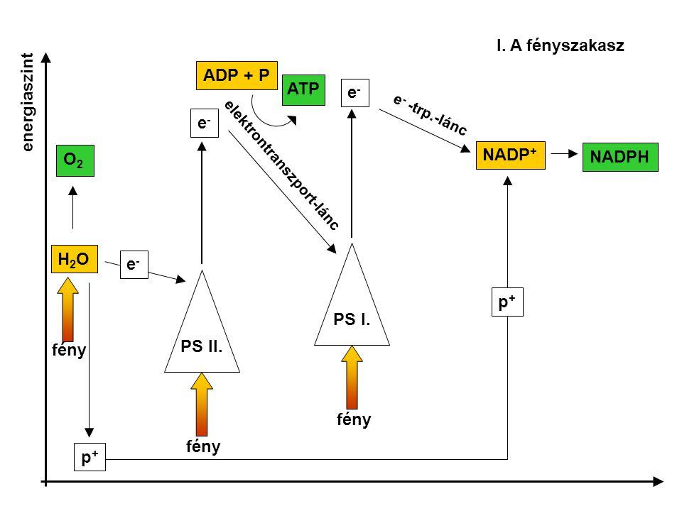 PS II. PS I. fény e-e- e-e- NADP + elektrontranszport-lánc e - -trp.-lánc H2OH2O p+p+ NADPHe-e- fény O2O2 ATP ADP + P I. A fényszakasz energiaszint p+