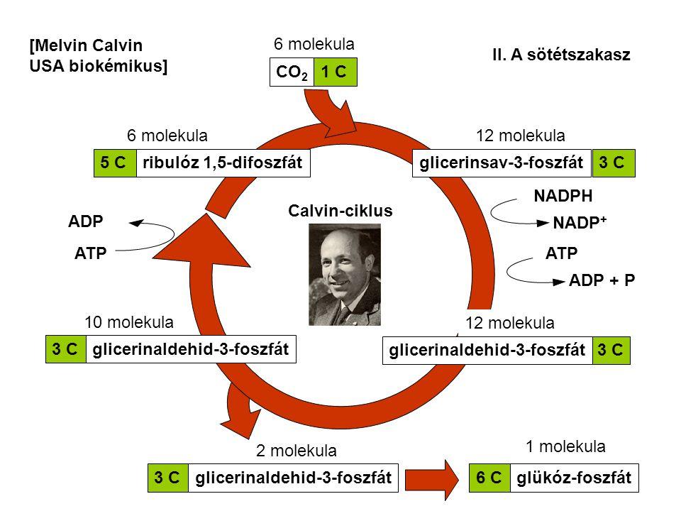 II. A sötétszakasz Calvin-ciklus 6 molekula 5 Cribulóz 1,5-difoszfát 6 molekula12 molekula 3 Cglicerinsav-3-foszfát 12 molekula 3 Cglicerinaldehid-3-f