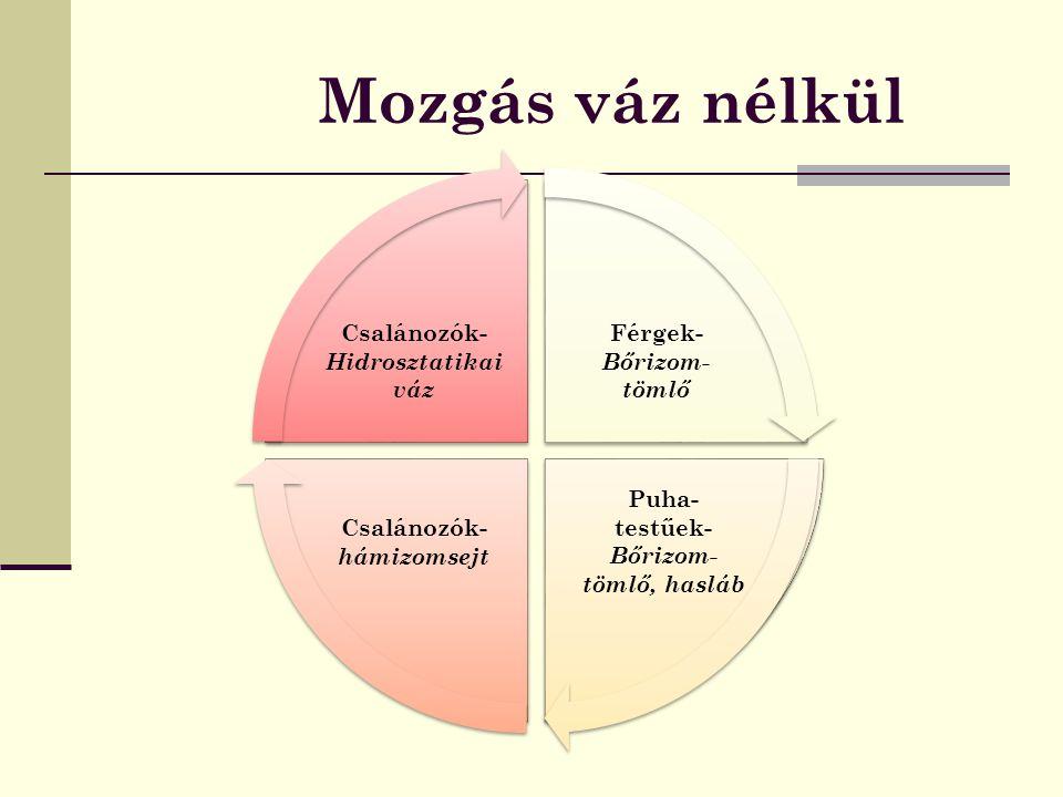 - Belső váz- tartást a testüreget kitöltő testfolyadék biztosítja Pl. csalánozók, férgek