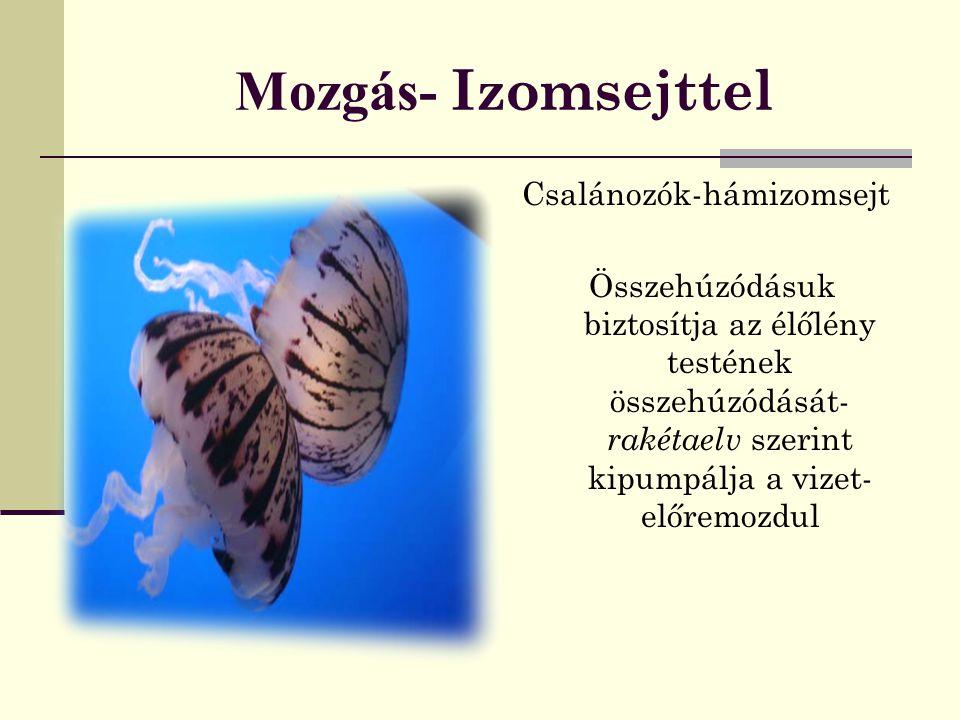 Mozgás- Izomszövettel Gyűrűsférgek - bőrizomtömlő Hám-körkörös simaizomszövet- hosszanti simaizomszövet Puhatestűek - módosult bőrizomtömlő= hasláb