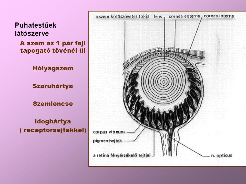 Puhatestűek látószerve A szem az 1 pár feji tapogató tövénél ül Hólyagszem Szaruhártya Szemlencse Ideghártya ( receptorsejtekkel)