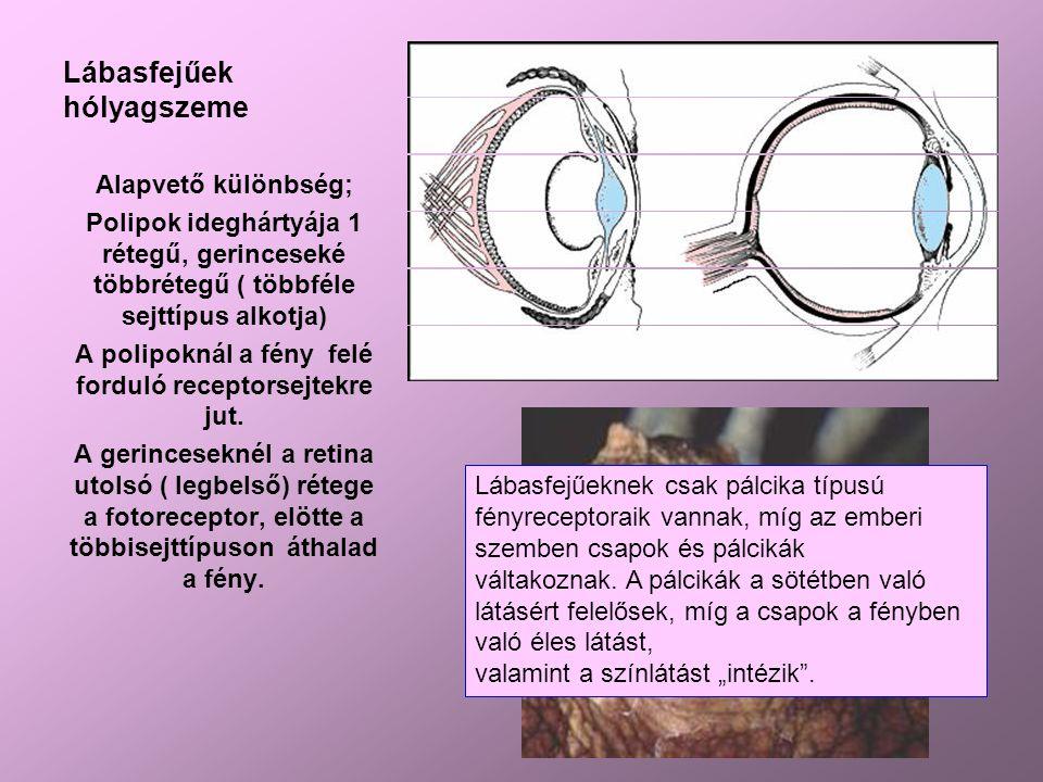 Lábasfejűek hólyagszeme Alapvető különbség; Polipok ideghártyája 1 rétegű, gerinceseké többrétegű ( többféle sejttípus alkotja) A polipoknál a fény felé forduló receptorsejtekre jut.