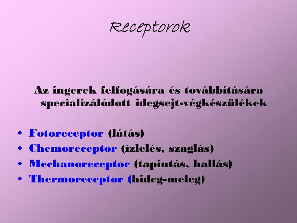 Receptorok Az ingerek felfogására és továbbítására specializálódott idegsejt-végkészülékek Fotoreceptor (látás) Chemoreceptor (ízlelés, szaglás) Mechanoreceptor (tapintás, hallás) Thermoreceptor (hideg-meleg)