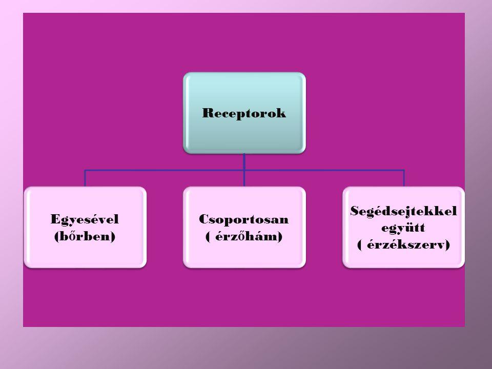 Receptorok Egyesével (b ő rben) Csoportosan ( érz ő hám) Segédsejtekkel együtt ( érzékszerv)
