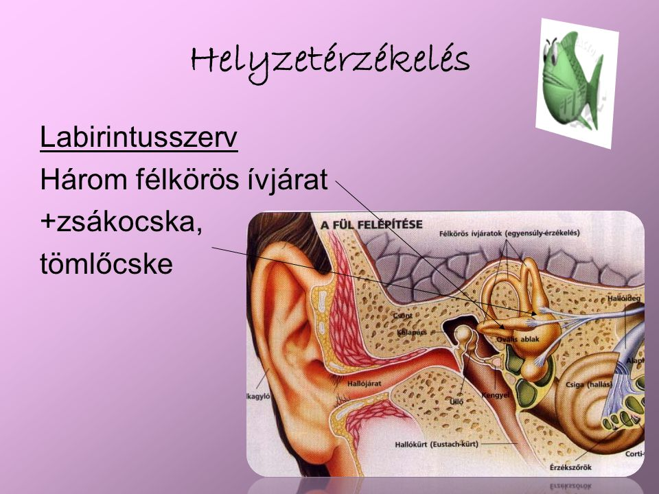 Hallás Ízeltlábúaknál: lábakon Gerincesek: fül