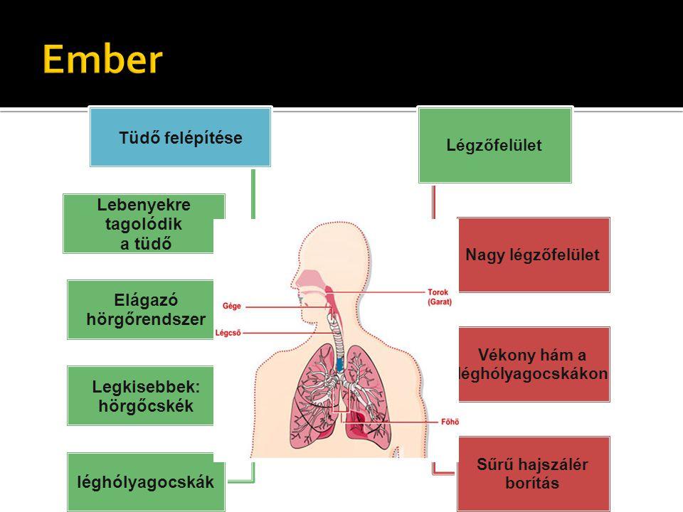 Tüdő felépítése Lebenyekre tagolódik a tüdő Elágazó hörgőrendszer Legkisebbek: hörgőcskék léghólyagocskák Légzőfelület Nagy légzőfelület Vékony hám a