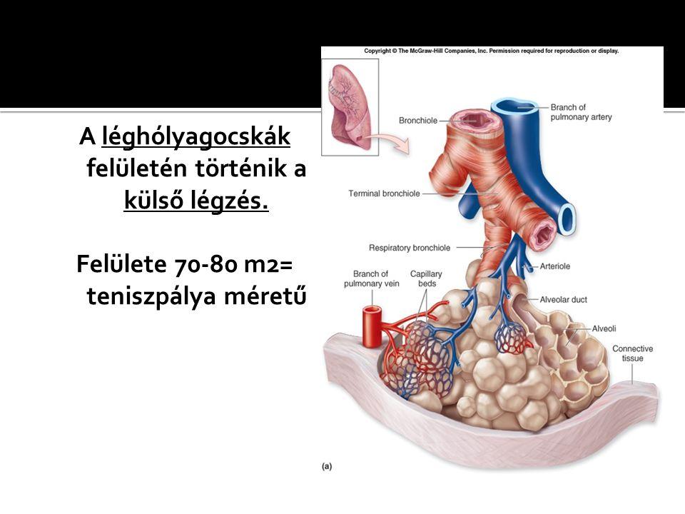 A léghólyagocskák felületén történik a külső légzés. Felülete 70-80 m2= teniszpálya méretű