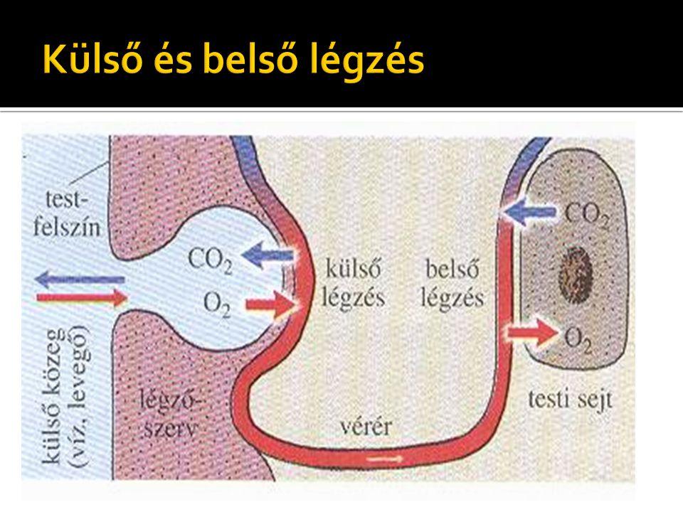 Alapja ; diffúzió A belélegzett levegőben több az O2, kisebb a CO2 koncentrációja mint a légzőfelület ereiben levő vérben.