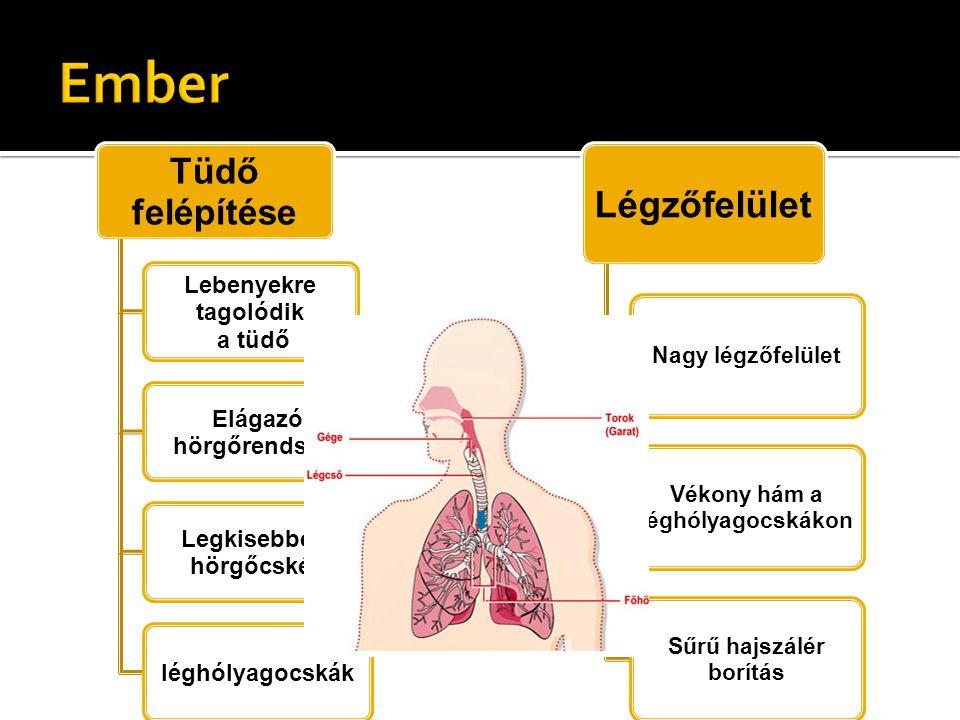 Felső és alsó légutak, tüdők, mellhártya ( fali és zsigeri), csontos mellkasfal, rekeszizom, légzési segédizmok, légzőközpont.