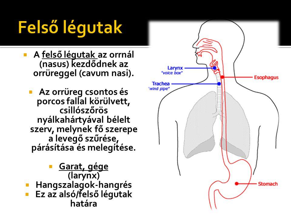 AA felső légutak az orrnál (nasus) kezdődnek az orrüreggel (cavum nasi). AAz orrüreg csontos és porcos fallal körülvett, csillószőrös nyálkahártyá