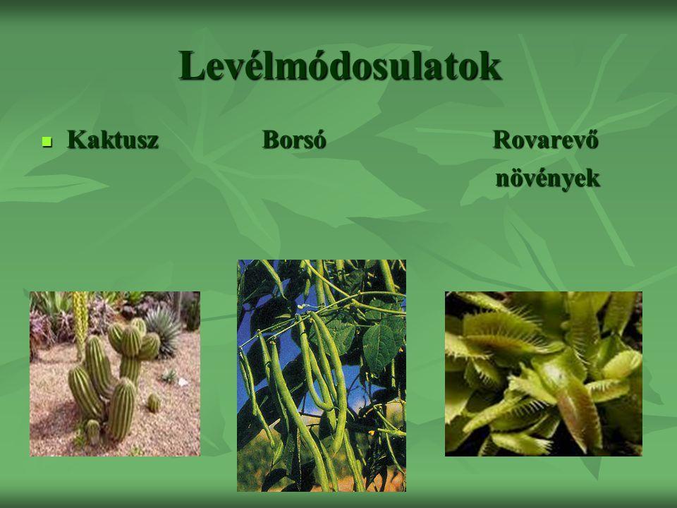 Levélmódosulatok Kaktusz Borsó Rovarevő Kaktusz Borsó Rovarevő növények növények