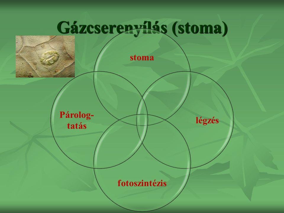 Gázcserenyílás (stoma) stoma légzés fotoszintézis Párolog- tatás