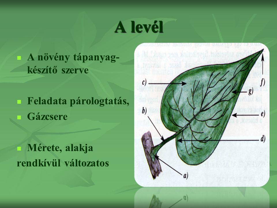 A levél A növény tápanyag- készítő szerve Feladata párologtatás, Gázcsere Mérete, alakja rendkívül változatos