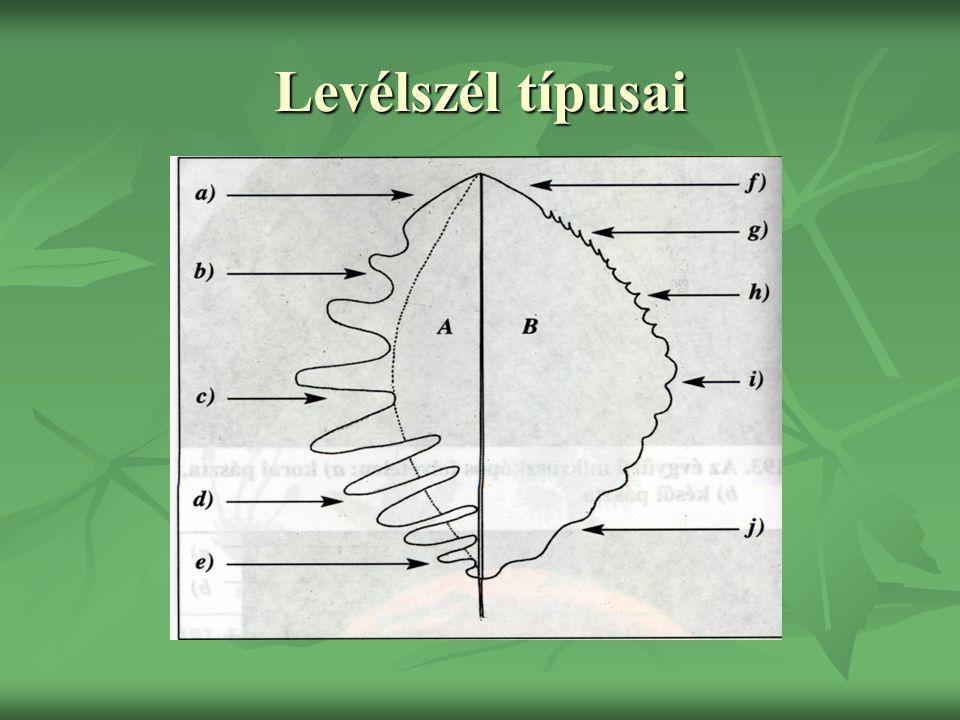 A levél szöveti szerkezete epidermis oszlopos alapszövet Szállító nyalábok szivacsos alapszövet epidermis gázcserenyílás