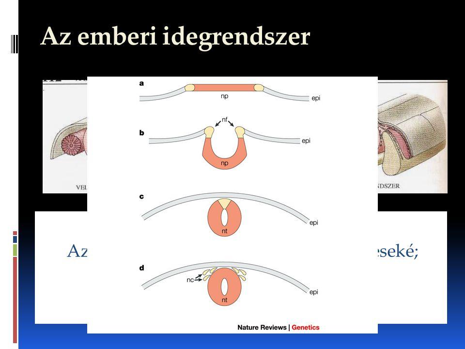 Az emberi idegrendszer Az ember idegrendszere mint a gerinceseké; csőidegrendszer