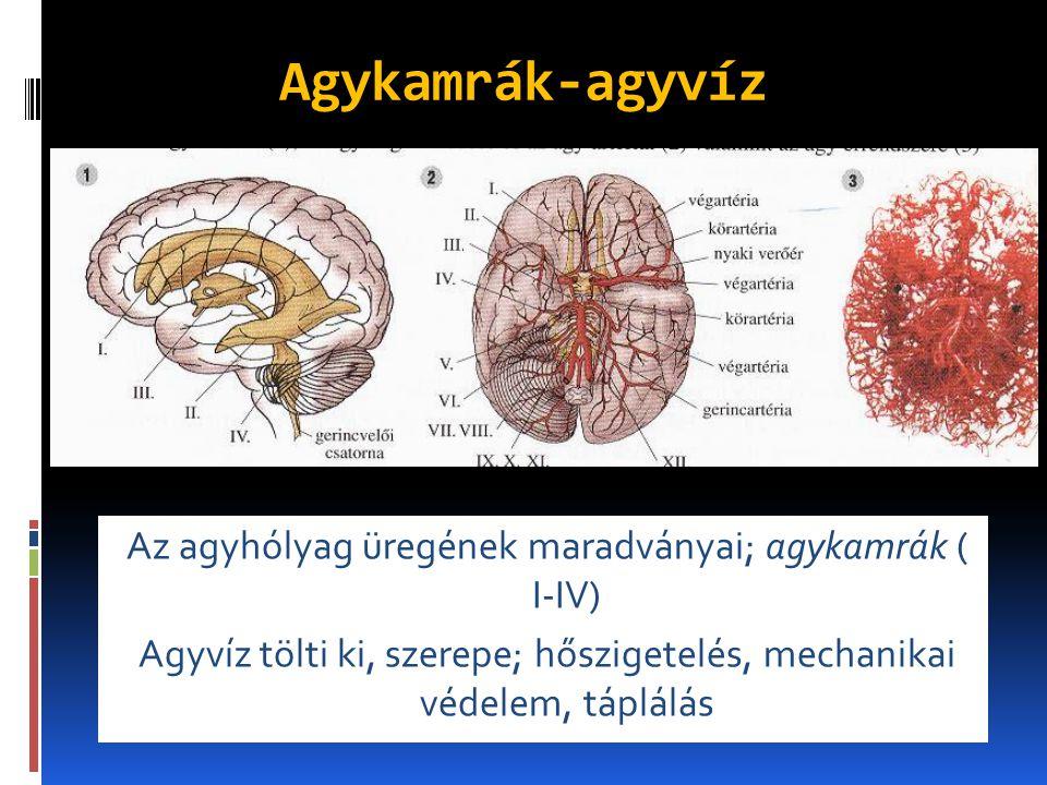 Agykamrák-agyvíz Az agyhólyag üregének maradványai; agykamrák ( I-IV) Agyvíz tölti ki, szerepe; hőszigetelés, mechanikai védelem, táplálás