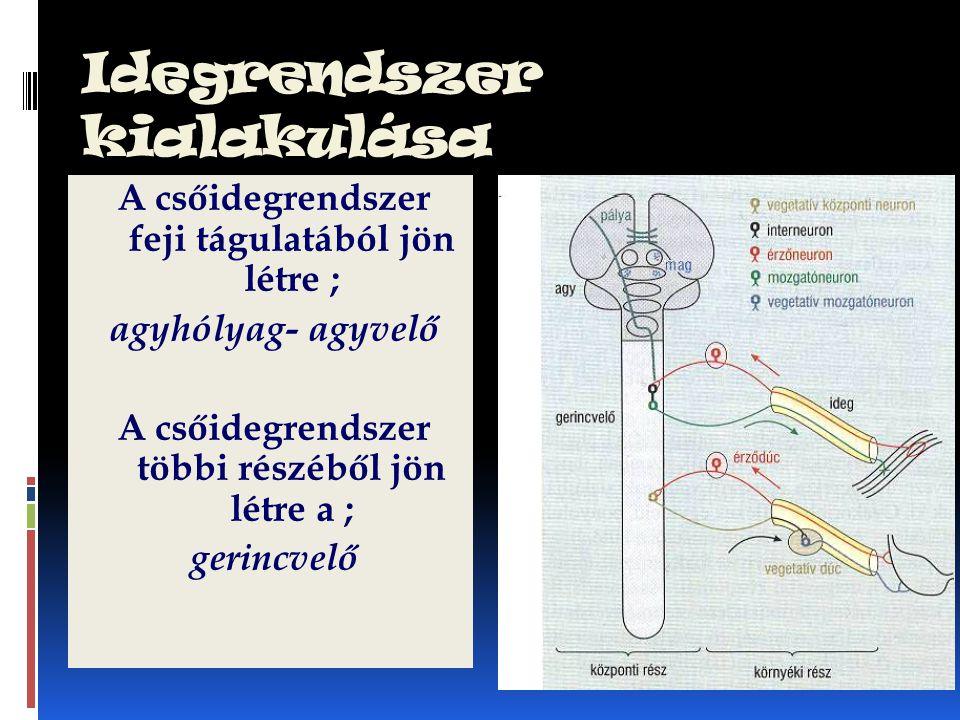 Idegrendszer kialakulása A csőidegrendszer feji tágulatából jön létre ; agyhólyag- agyvelő A csőidegrendszer többi részéből jön létre a ; gerincvelő