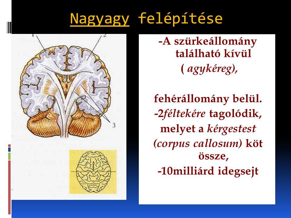 Nagyagy felépítése -A szürkeállomány található kívül ( agykéreg), fehérállomány belül. -2 féltekére tagolódik, melyet a kérgestest (corpus callosum) k