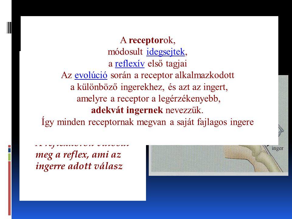 A reflexkör folyamata Részei; - receptor - bevezető/érzőidegsejt - központi idegsejt - mozgató idegsejt/ végrehajtó sejt/szerv - A reflexkörön valósul