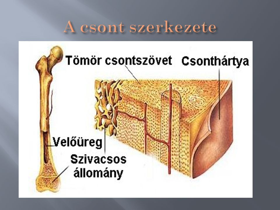 Csontszövet szerkezete Tömött csontállomány ( kívül borítja a csontokat) Csonthártya Szivacsos csontállomány ( a csontok belsejében) üregrendszer Vörö