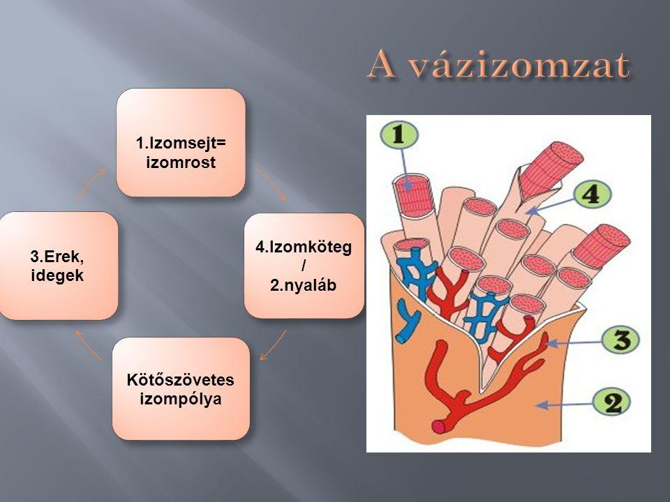  A mozgás során a kémiai energia, mechanikai munkává alakul.  A tényleges munkát az izomrostok fehérjefonalai, az aktin és a miozin összehúzódás oko