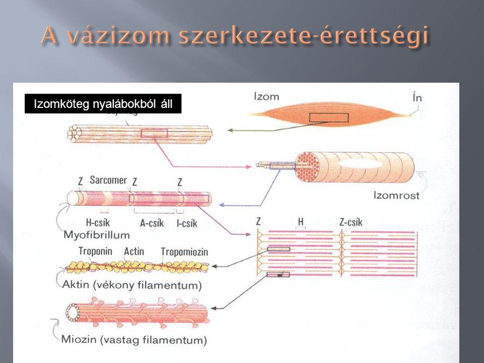 Nem elágazó, soksejtmagvú sejtek. A rost szélén a magok, középen az atin/miozinszálak. ATP jelenlétében aktomiozin egységet alkotnak (kereszthidak) 