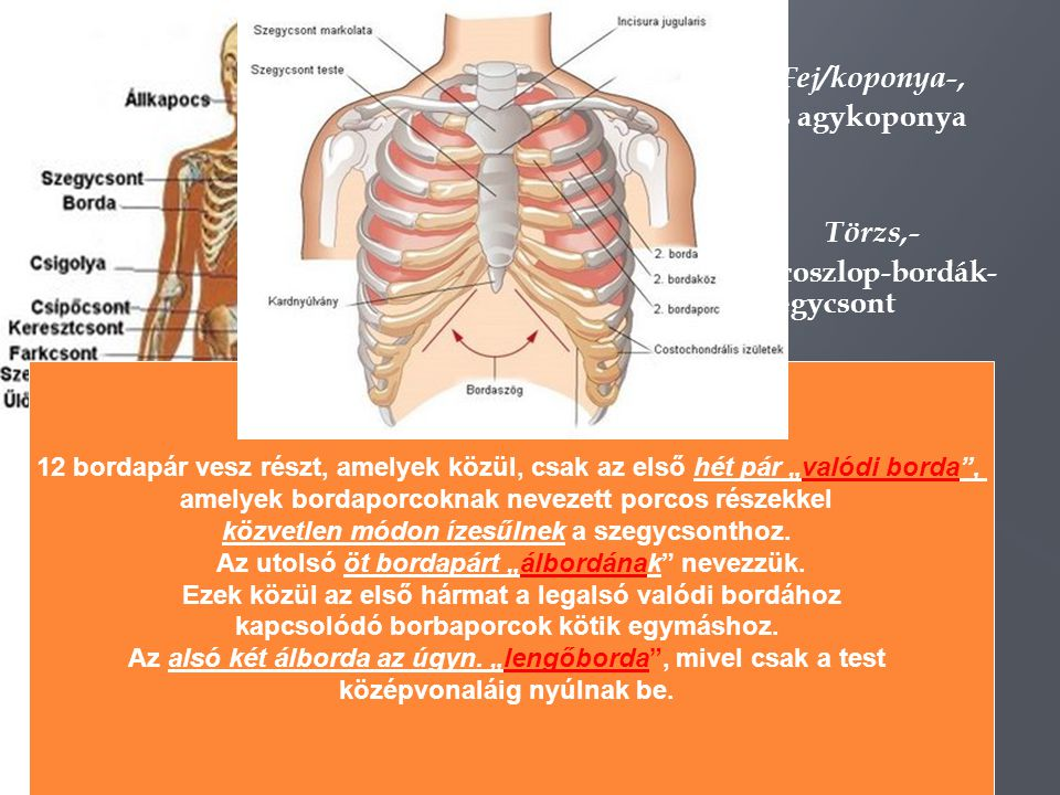 Csontszövet szerkezete Tömött csontállomány ( kívül borítja a csontokat) Csonthártya Szivacsos csontállomány ( a csontok belsejében) üregrendszer Vöröscsontvelő ( vér alakos elemeinek kialakulása Sárgacsontvelő ( táplál)
