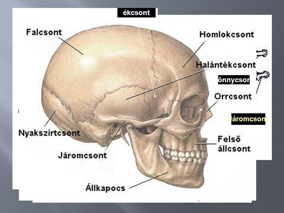 Fej/koponya-, Arc- és agykoponya Törzs,- Gerincoszlop-bordák- szegycsont Végtagok váza Függesztőöv-szabad végtagváz (vállöv, medenceöv) 12 bordapár ve