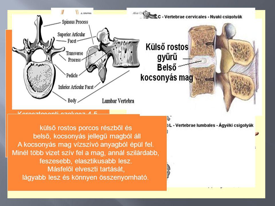 csontok porcok Tömött rostos Kötő- szövet /inak/