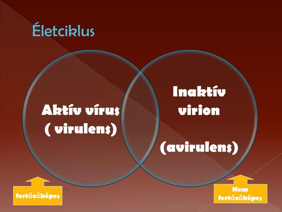 Aktív vírus ( virulens) Inaktív virion (avirulens) fert ő z ő képes Nem fert ő z ő képes