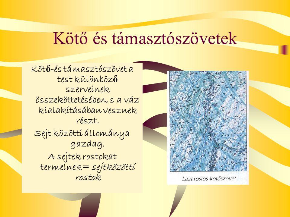 Kötő és támasztószövetek Köt ő -és támasztószövet a test különböz ő szerveinek összeköttetésében, s a váz kialakításában vesznek részt. Sejt közötti á