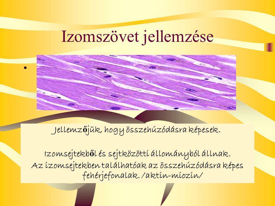 Izomszövet jellemzése Jellemz ő jük, hogy összehúzódásra képesek. Izomsejtekb ő l és sejtközötti állományból állnak. Az izomsejtekben találhatóak az ö