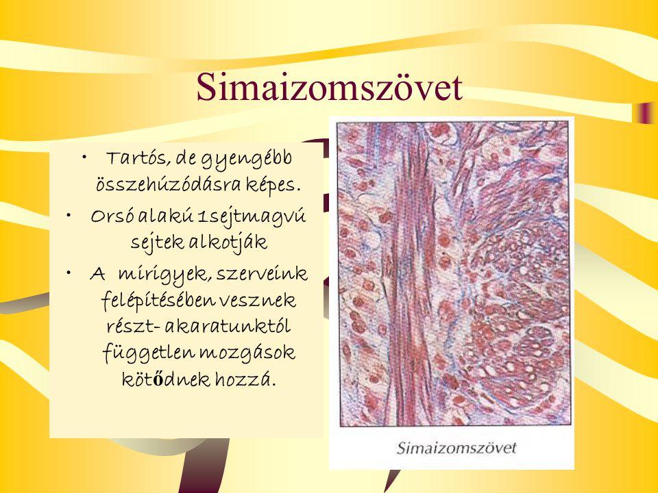 Simaizomszövet Tartós, de gyengébb összehúzódásra képes. Orsó alakú 1sejtmagvú sejtek alkotják A mirigyek, szerveink felépítésében vesznek részt- akar