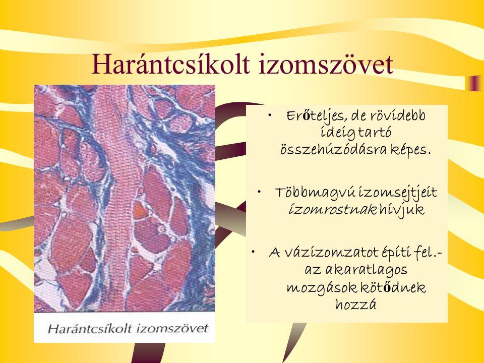 Harántcsíkolt izomszövet Er ő teljes, de rövidebb ideig tartó összehúzódásra képes. Többmagvú izomsejtjeit izomrostnak hívjuk A vázizomzatot építi fel