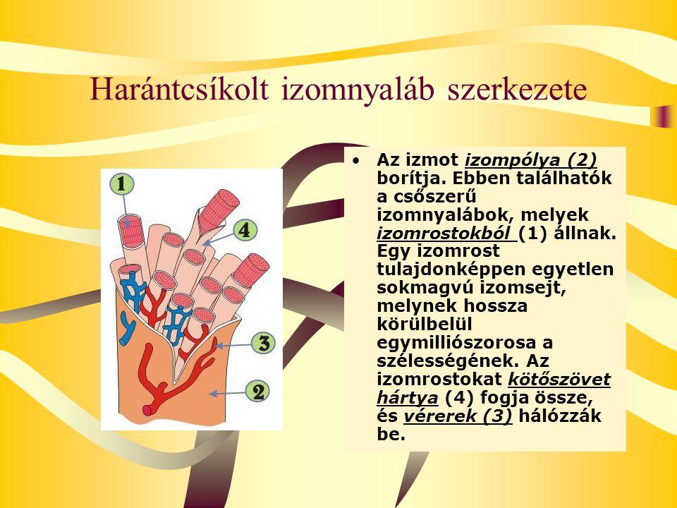 Harántcsíkolt izomnyaláb szerkezete Az izmot izompólya (2) borítja. Ebben találhatók a csőszerű izomnyalábok, melyek izomrostokból (1) állnak. Egy izo