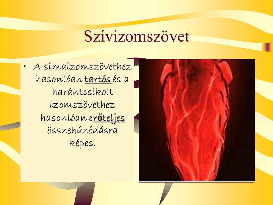Szívizomszövet A simaizomszövethez hasonlóan t tt tartós és a harántcsíkolt izomszövethez hasonlóan erőteljes összehúzódásra képes.