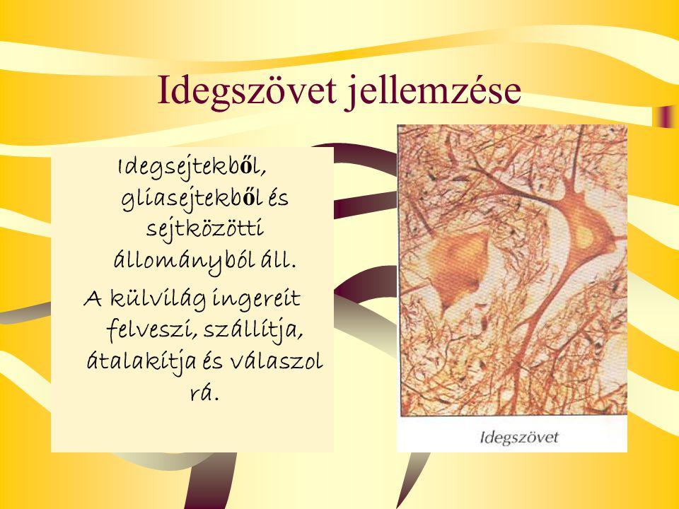 Idegszövet jellemzése Idegsejtekb ő l, gliasejtekb ő l és sejtközötti állományból áll. A külvilág ingereit felveszi, szállítja, átalakítja és válaszol