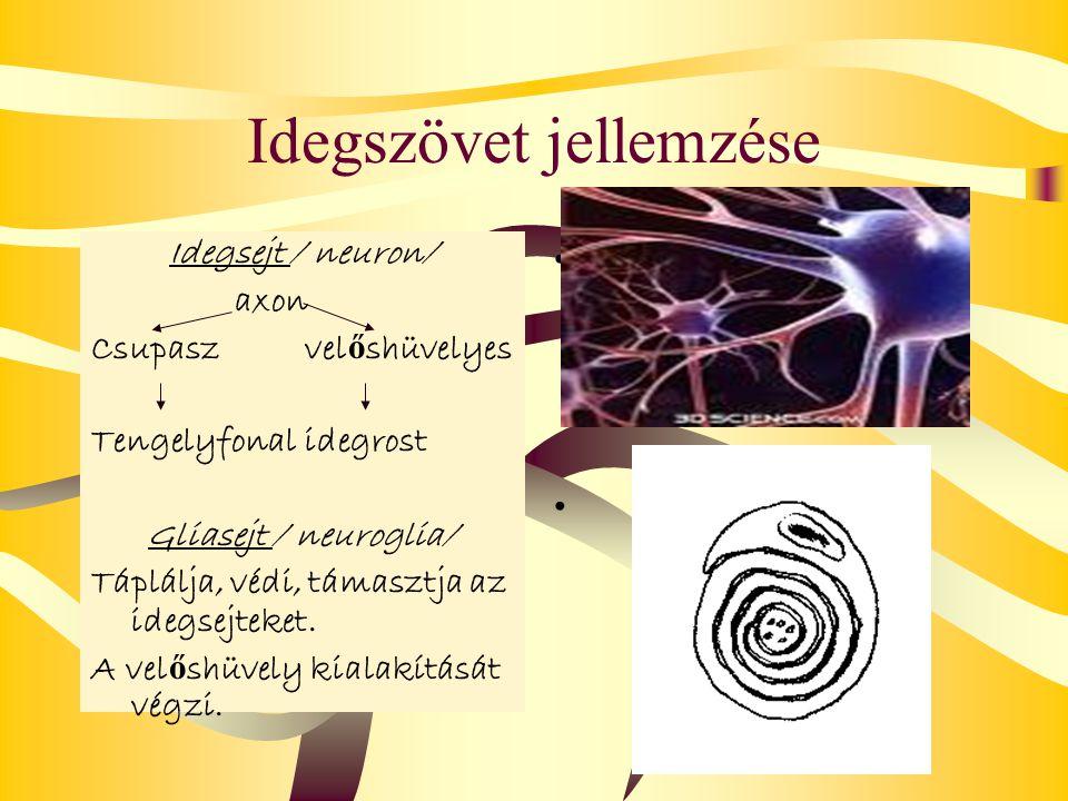 Idegszövet jellemzése Idegsejt / neuron/ axon Csupaszvel ő shüvelyes Tengelyfonalidegrost Gliasejt / neuroglia/ Táplálja, védi, támasztja az idegsejte