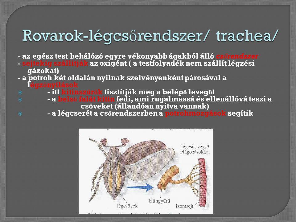 - az egész test behálózó egyre vékonyabb ágakból álló csőrendszer - sejtekig szállítják az oxigént ( a testfolyadék nem szállít légzési gázokat) - a p