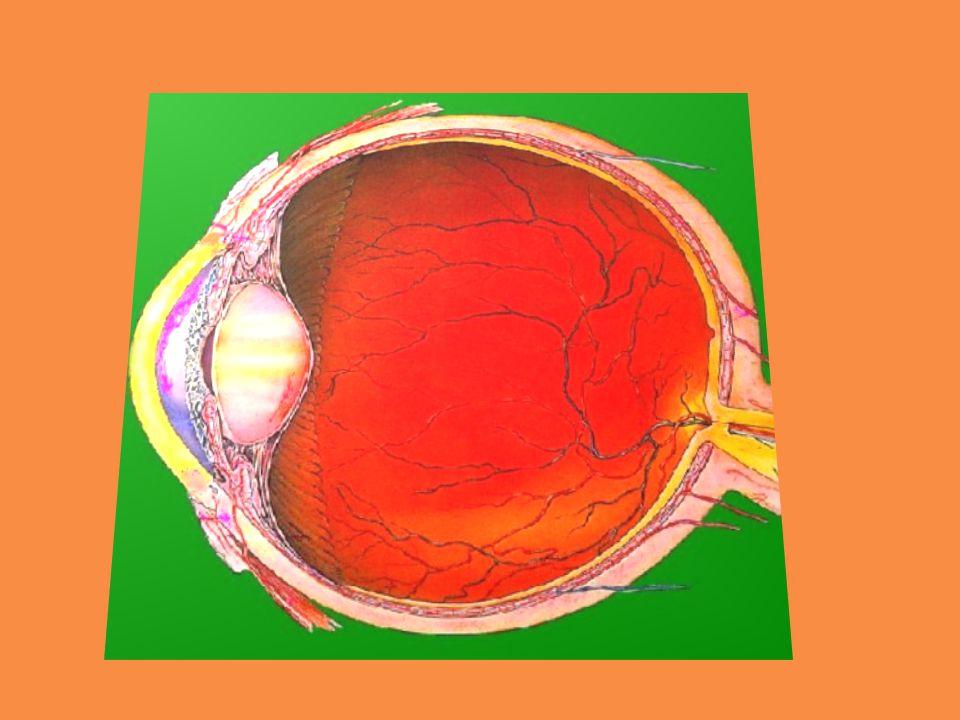 A szem részei http://www.3bscientific.hu/animations.html