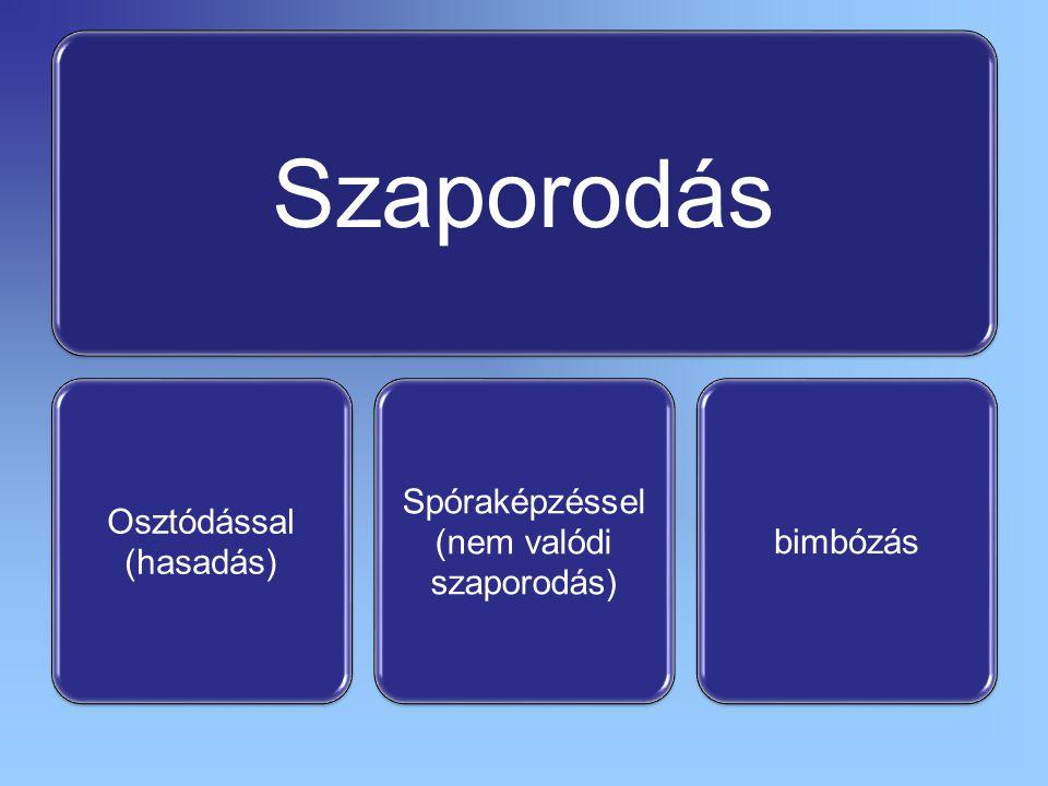 Szaporodás Osztódással (hasadás) Spóraképzéssel (nem valódi szaporodás) bimbózás