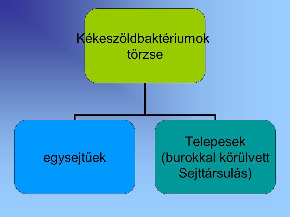 Kékeszöldbaktériumok törzse egysejtűek Telepesek (burokkal körülvett Sejttársulás)
