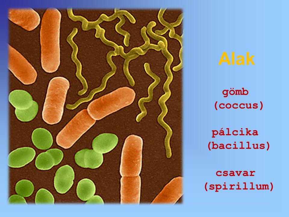 kocsonyás burok sejtfal sejthártya ostor/csilló plazma DNS Felépítés 1-10 µm