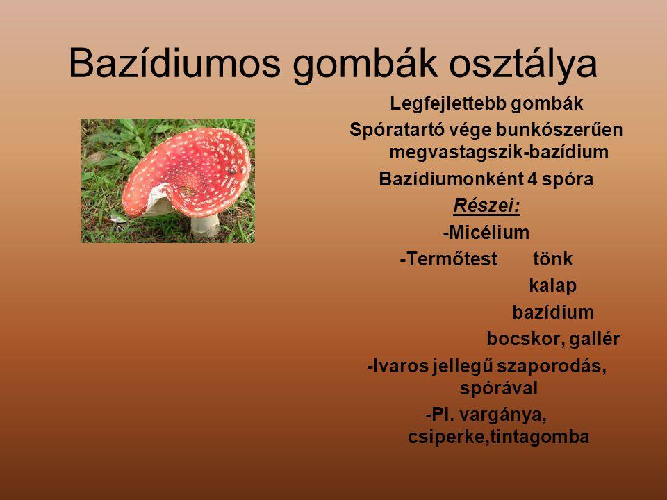 Bazídiumos gombák osztálya Legfejlettebb gombák Spóratartó vége bunkószerűen megvastagszik-bazídium Bazídiumonként 4 spóra Részei: -Micélium -Termőtes