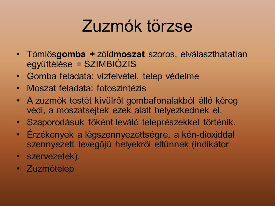 Zuzmók törzse Tömlősgomba + zöldmoszat szoros, elválaszthatatlan együttélése = SZIMBIÓZIS Gomba feladata: vízfelvétel, telep védelme Moszat feladata: