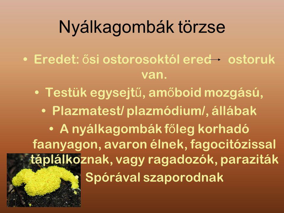 Nyálkagombák törzse Eredet: ő si ostorosoktól ered ostoruk van. Testük egysejt ű, am ő boid mozgású, Plazmatest/ plazmódium/, állábak A nyálkagombák f