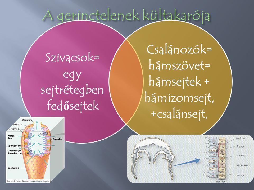 Szivacsok= egy sejtrétegben fed ő sejtek Csalánozók= hámszövet= hámsejtek + hámizomsejt, +csalánsejt,