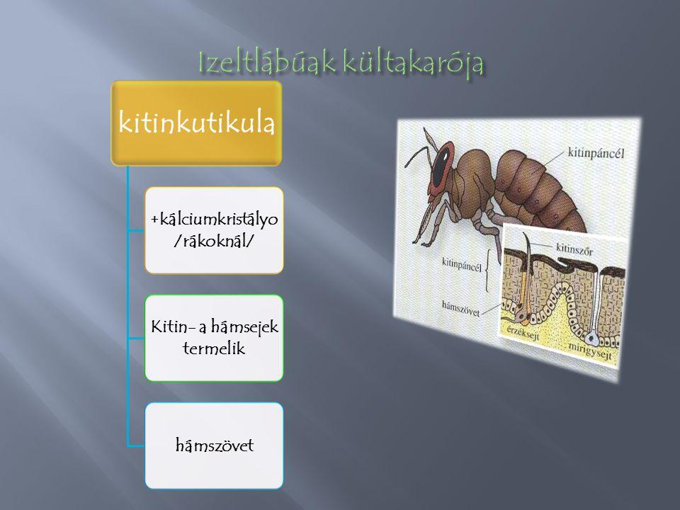 kitinkutikula +kálciumkristályo /rákoknál/ Kitin- a hámsejek termelik hámszövet