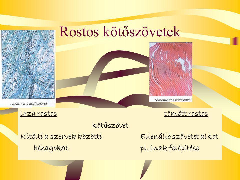 Rostos kötőszövetek laza rostostömött rostos köt ő szövet Kitölti a szervek közöttiEllenálló szövetet alkot hézagokatpl.